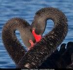 Blackheartswans