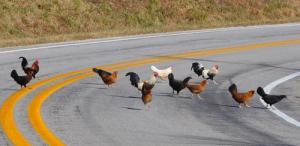 ChickensCrossingTheRoadResized