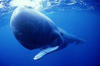 sperm-whale-1